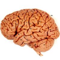 Brain_copy
